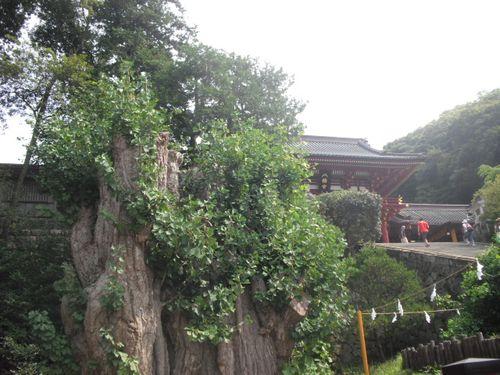 03) 鎌倉「鶴岡八幡宮」倒壊した大銀杏その後