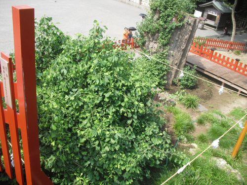 05) 鎌倉「鶴岡八幡宮」倒壊した大銀杏その後