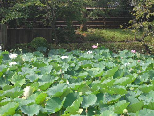 09) 「源平池」の、通称 '源氏池'側の蓮