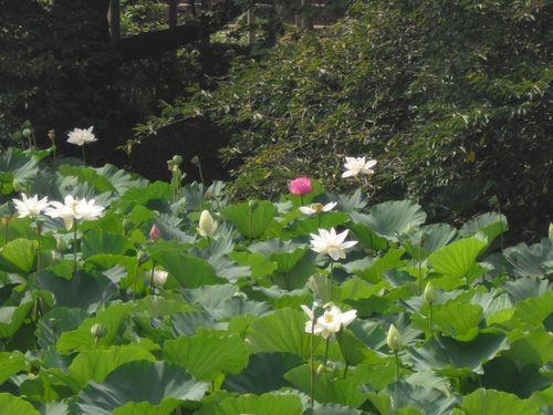 10) 「源平池」の、通称 '源氏池'側の蓮