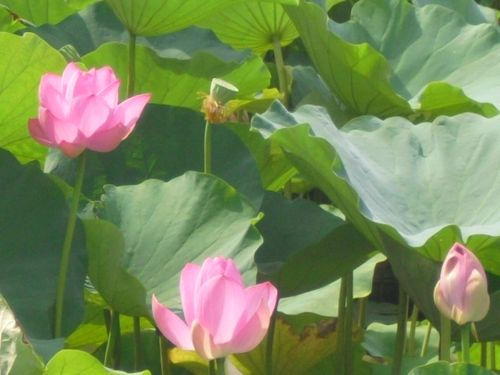 11) 「源平池」の、通称 '源氏池'側の蓮