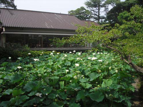 13) 「源平池」の、通称 '平家池'側の蓮