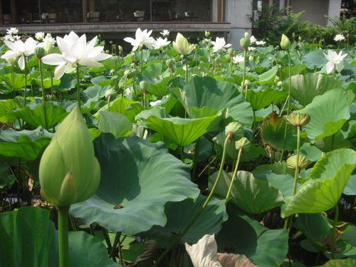 15) 「源平池」の、通称 '平家池'側の蓮