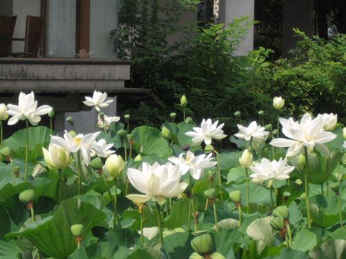16) 「源平池」の、通称 '平家池'側の蓮