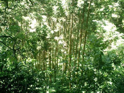 """035) """"天園ハイキングコース"""" 進行中、崖下の木立。_10:01am"""
