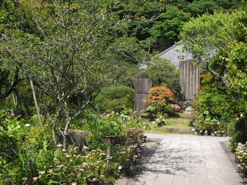 02) 鎌倉「光則寺」ヤマアジサイの季節