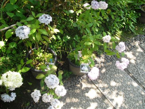 07) 鎌倉「光則寺」ヤマアジサイの季節