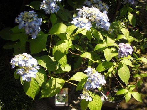 09) 鎌倉「光則寺」ヤマアジサイの季節