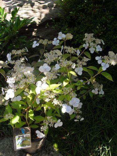 10) 鎌倉「光則寺」ヤマアジサイの季節