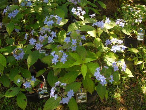 12) 鎌倉「光則寺」ヤマアジサイの季節