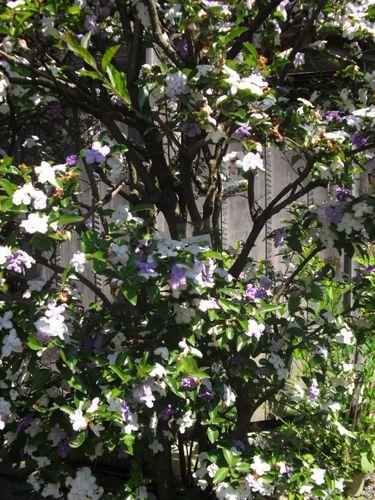 28) 鎌倉「光則寺」ヤマアジサイの季節