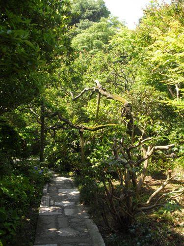 30) 鎌倉「光則寺」ヤマアジサイの季節