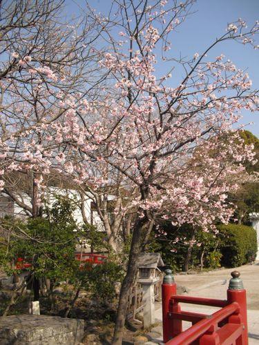 12) 鎌倉「鶴岡八幡宮」_通称'平家池'側の橋付近の桜