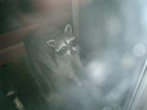 01) 21:20pm頃、音がするのでカーテンを開けたらアライグマが居た