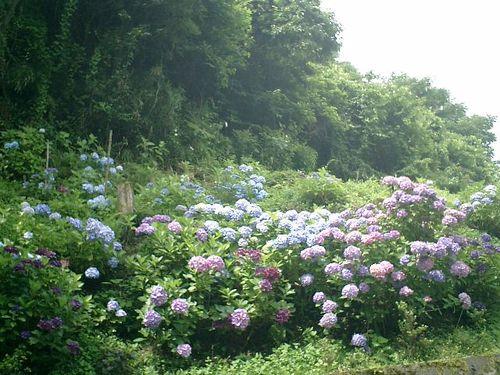 01) 近隣住民の連携協力によって、毎年 目を楽しませてくれる土手の紫陽