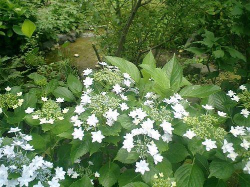 04) 鎌倉市小町「大巧寺」紫陽花の季節