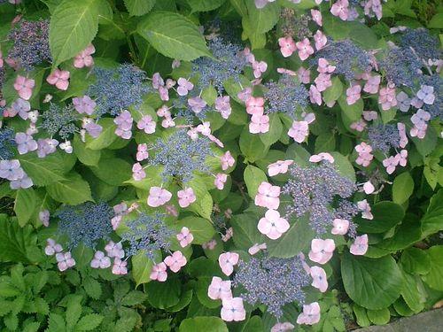 05) 鎌倉市小町「大巧寺」紫陽花の季節