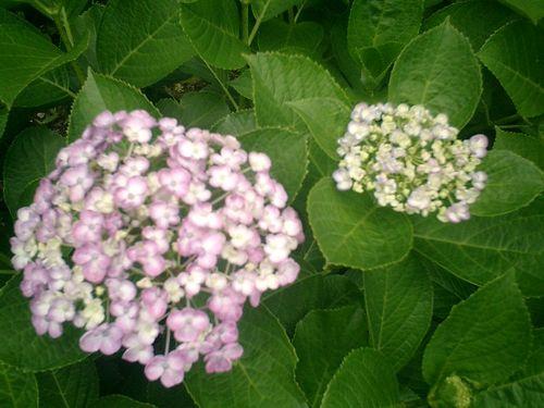 08) 鎌倉市小町「大巧寺」紫陽花の季節