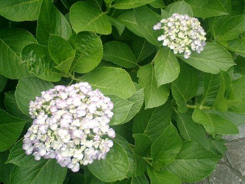 09) 鎌倉市小町「大巧寺」紫陽花の季節