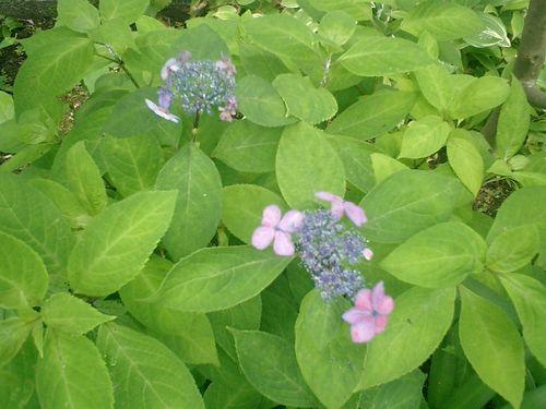 10) 鎌倉市小町「大巧寺」紫陽花の季節