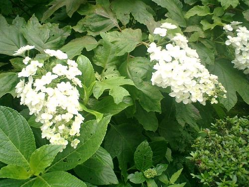 11) 鎌倉市小町「大巧寺」紫陽花の季節