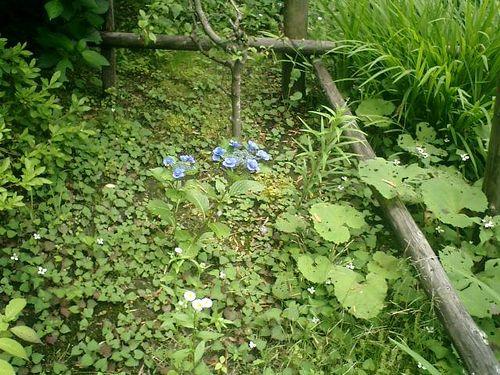 07) 06)の奥で咲いていたのだけれども、私としては珍しい咲き方の紫陽花だ