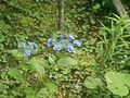 08) 07)をデジタル・ズームで撮った。円く咲く花の各々が、バラみたいな