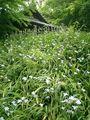 04) 「鐘楼」下の土手に咲くシャガ。盛りは過ぎたようだ。