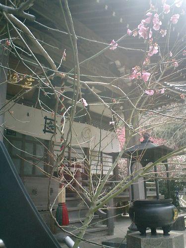 01) 鎌倉市大町「安国論寺」梅の季節終焉を見とどける