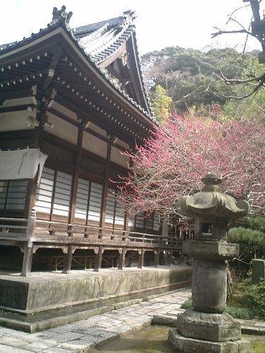 03) 鎌倉市大町「安国論寺」梅の季節終焉を見とどける