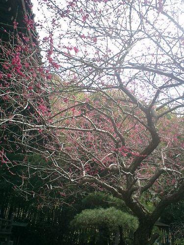 04) 鎌倉市大町「安国論寺」梅の季節終焉を見とどける