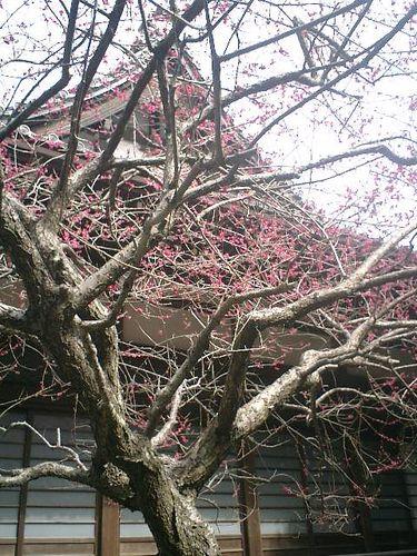 05) 鎌倉市大町「安国論寺」梅の季節終焉を見とどける