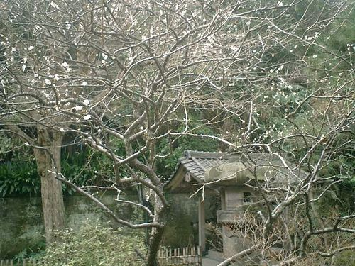 08) 鎌倉市大町「安国論寺」梅の季節終焉を見とどける