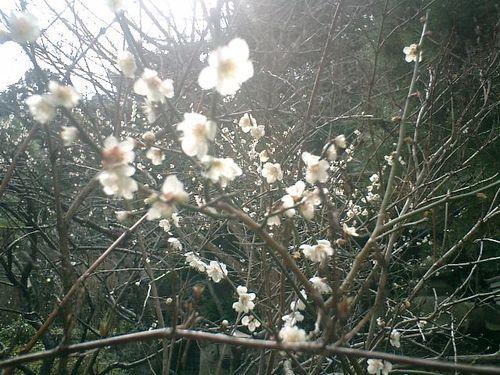 09) 鎌倉市大町「安国論寺」梅の季節終焉を見とどける