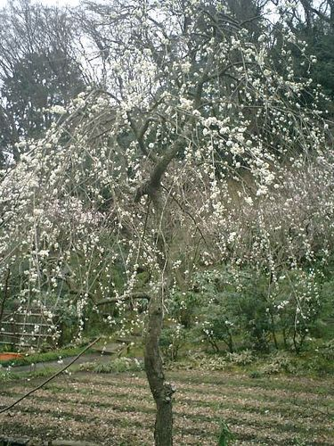 10) 鎌倉市山ノ内「東慶寺」梅の季節