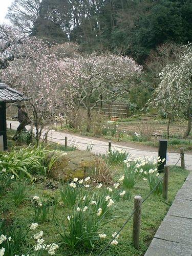 11) 鎌倉市山ノ内「東慶寺」梅の季節