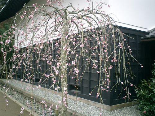 12) 鎌倉市山ノ内「東慶寺」梅の季節