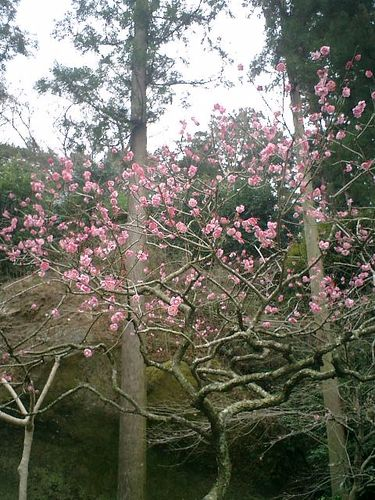 13) 鎌倉市山ノ内「東慶寺」梅の季節