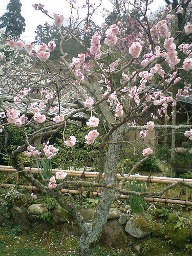 17) 鎌倉市山ノ内「東慶寺」梅の季節
