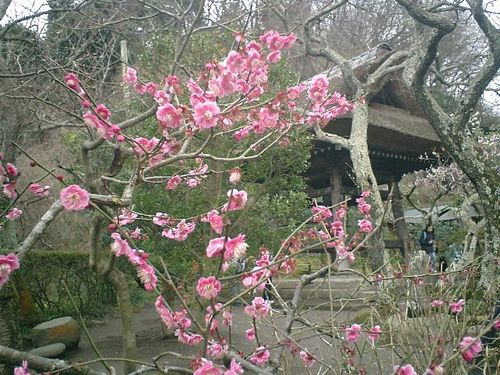 19) 鎌倉市山ノ内「東慶寺」梅の季節