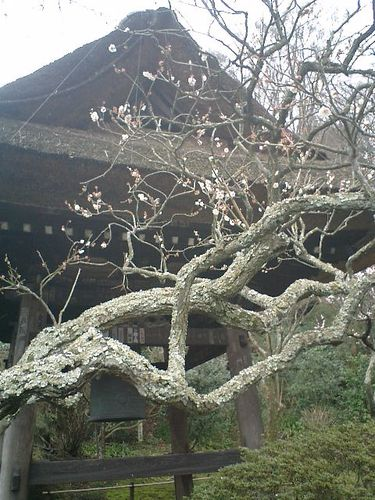 20) 鎌倉市山ノ内「東慶寺」梅の季節