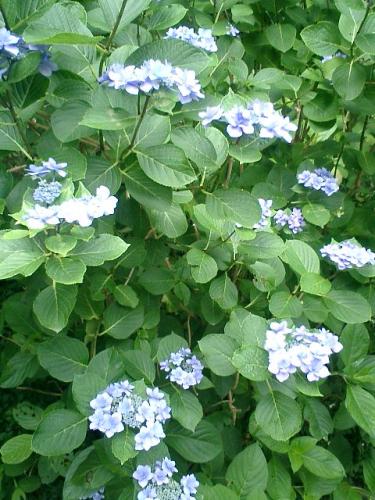 06)鎌倉「荏柄天神社」紫陽花の季節