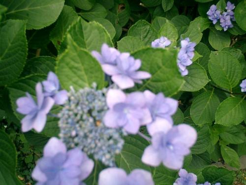 07)鎌倉「荏柄天神社」紫陽花の季節