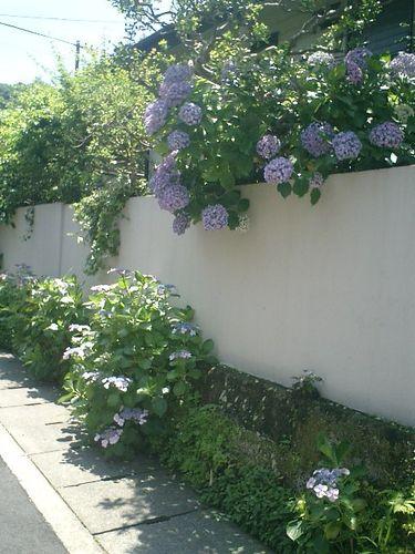 01)鎌倉市材木座、或る民家の紫陽花。11:20am頃