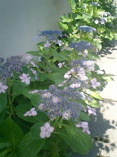 02)鎌倉市材木座、或る民家の紫陽花。