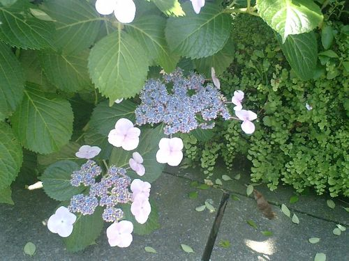 03)鎌倉市材木座、或る民家の紫陽花。