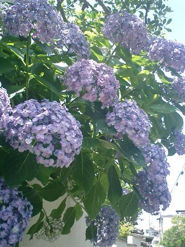 04)鎌倉市材木座、或る民家の紫陽花。