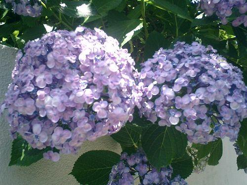 05)鎌倉市材木座、或る民家の紫陽花。