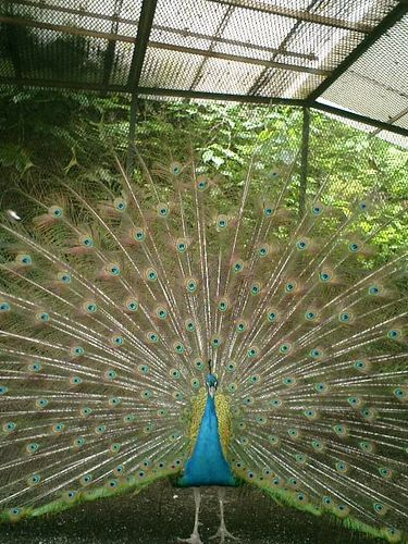 14)鎌倉市長谷「光則寺」飾り羽が生え変わった孔雀