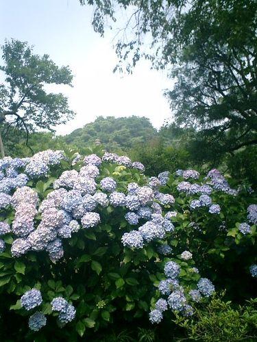 01)鎌倉市長谷「光則寺」山門外の紫陽花。8:55am~